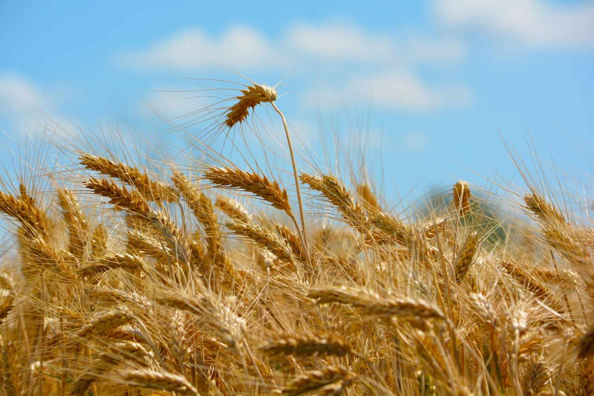 Il Gal Madonie finanzia il progetto Circe per lo sviluppo dei grani antichi delle Madonie