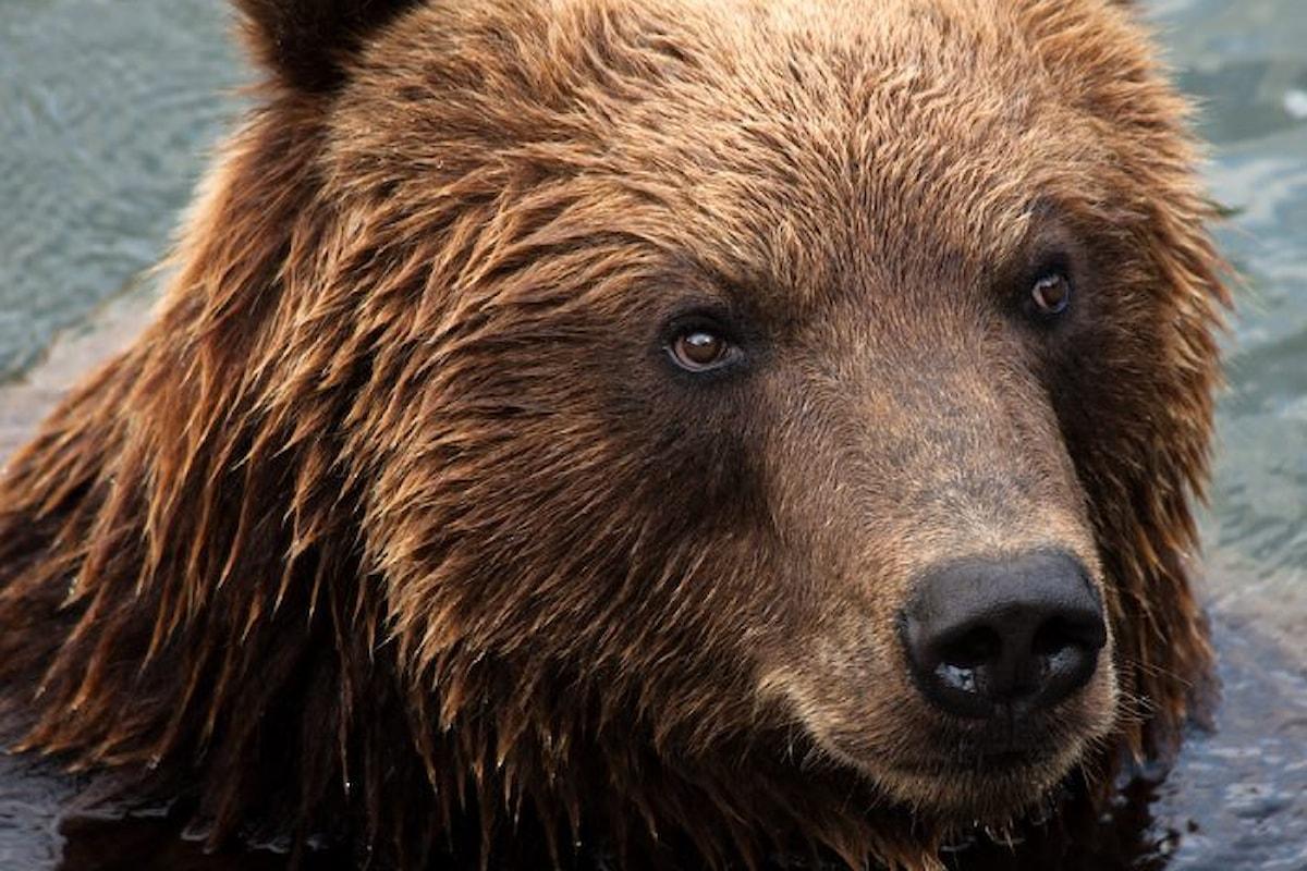 Gli agenti del Corpo forestale della Provincia autonoma di Trento hanno ucciso l'orsa KJ2
