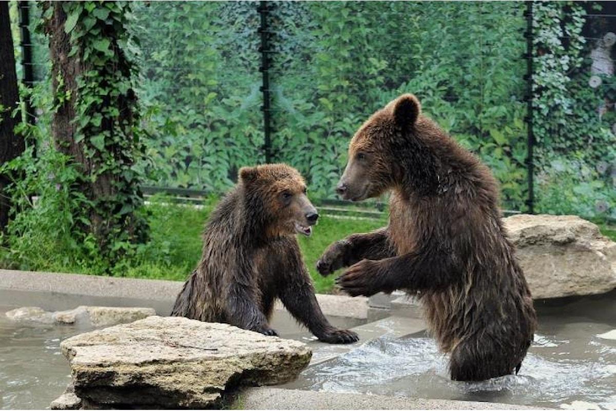 Tre cuccioli di orso albanesi al Bioparco di Roma