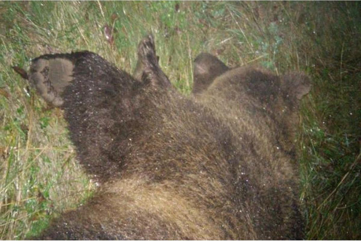 La Procura di Trento vuole chiudere il caso dell'orsa KJ2. L'OIPA si opppone
